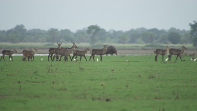 Hippopotamus and Waterbuck graze on floodplain