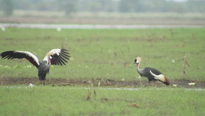 Grey Crowned Cranes feeding on a floodplain