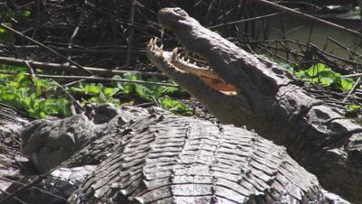 Nile Crocodiles basking on riverbank , jaws wide open