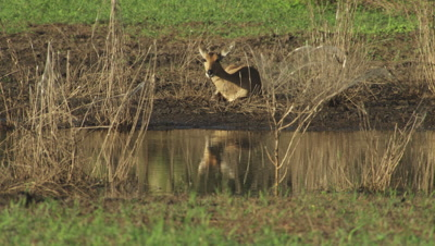 Steenbok by watering hole