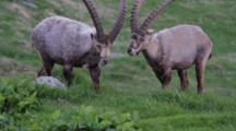 Alpine Ibex (Male) Is Eating