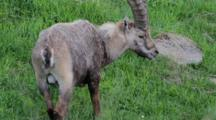 A Big Alpine Ibex (Male) Is Eating