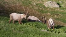 A Groupe Of Alpine Ibex (Male) Ss Eating Green Grass