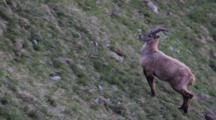 A Young Alpine Ibex (Male) Is Moving