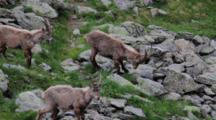 A Group Of Alpine Ibex (Young Male) Is Eating