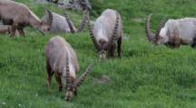 A Group Of Alpine Ibex ( Males) Is Eating