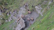 A Group Of Alpines Ibex ( Males) In The Alps
