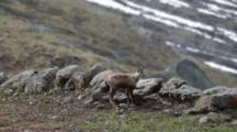 Young Chamois On Rocky Outcropping