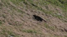 Young Alpine Marmot