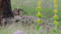 A Marmot Is Playing With Her Young