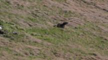 A Young Marmot Is Going To His Mother