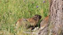 Young Marmots And An Adult