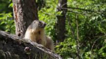 An Alpine Marmot Alert, On Rock Outcrop