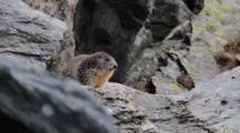 Alpine Marmot On Rocks