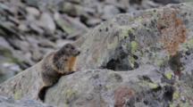 Alpine Marmot On Rock