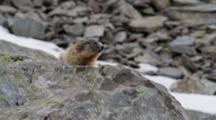 Alpine Marmot (Adult) On Rock