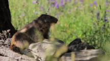 Alpine Marmots Is Cleaning Herself