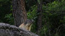Alpine Marmot Is Vocalizing, Calling