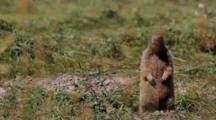 Alpine Marmot, Alert, Standing Up