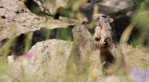 Two Alpine Marmots (Youngs) Are Playing