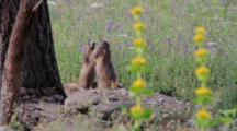 Two Alpine Marmots Are Playing