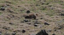 Old Alpine Marmots Is Walking