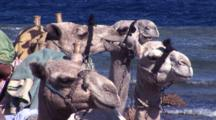 Four Camels Sitting On Shore