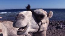 Lose Up Camel Chewing And Sitting On Shore