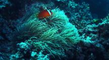 Tomato Clown Fish Poke Out Of Stringy Sea Anemone