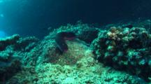 Red And Black Sea Cucumber Crawls On Reef 03