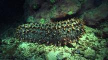 Orange Tipped Spiny, Possibly Pineapple Sea Cucumber