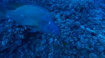 Following Giant Napoleon Wrasse Over Reef