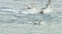 Pod Of Dolphins Running From Drive Boats