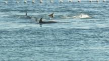 Dolphins Trapped In Cove, Swimming By Net
