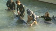 Trainers Measuring Captured Dolphin