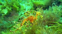 Leafy Seadragon (Phycodurus Eques)