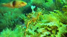 Leafy Seadragon Attacked By Wrasse