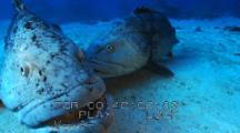 Potato Cod Grouper ( Epinephelus Tukula) Spawning, Courting, Mating