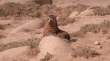 Australian Sea Lion (Neophoca Cinera) Pup