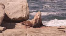 Australian Sea Lion Cleans Newborn Pup, Birth