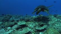 Male Green Turtle (Chelonia Mydas) Coral  Reef