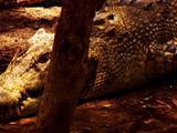 Crocodile Rests On Land
