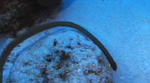 Olive Sea Snake Travels Across Sand Toward Reef