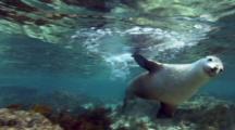 Australian sea lion (Neophoca cinera), seal