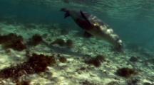 Rare and Endangered Australian sea lion (Neophoca cinera) playing