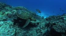 Green Turtle (Chelonia Mydas), Abundant Hard Corals, Cleaning Station