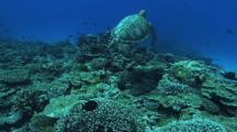 Green Turtle (Chelonia Mydas), Abundant Hard Corals, Cleaning Station