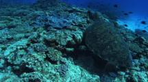 Green Turtle (Chelonia Mydas), cleaning station, hard corals