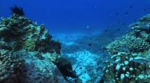 Green Turtle (Chelonia Mydas), Abundant Hard Corals, Fusiliers