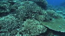 Abundant Hard Corals, School Of Blue-Green Chromis Damsel Fish Feeding